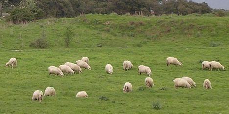 Nasce il network europeo sulla produttiv ovina