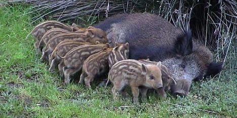 Asinara riprende la cattura di capre e cinghiali for Cattura per capre