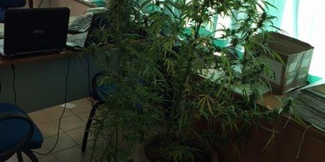 Piantagione marijuana a sinnai arrestato 60enne for Temporizzatore per irrigazione
