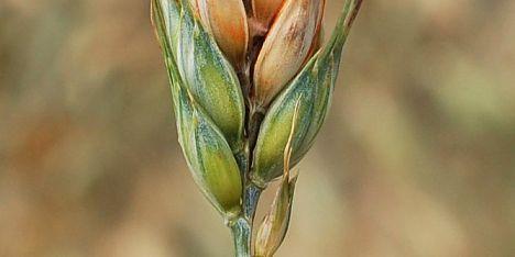 Grano duro: 1,6mln ai cerealicoltori