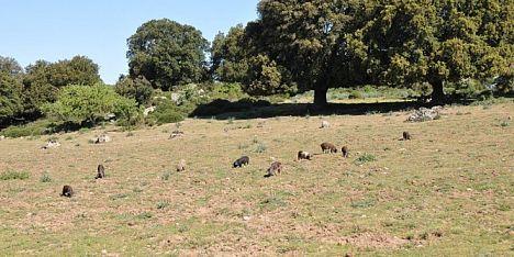 Maiali razza sarda non a rischio estinzione