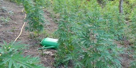 Coltivazione di cannabis: doppio arresto